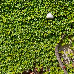 green light (Soenke HH) Tags: tree wall lamp hidden square sun light pov kopenhagen copenhagen green autumn 11 olympus e5 swd1260 city urban life wand efeu lampe licht baum baumstamm stadt quadrat viereck
