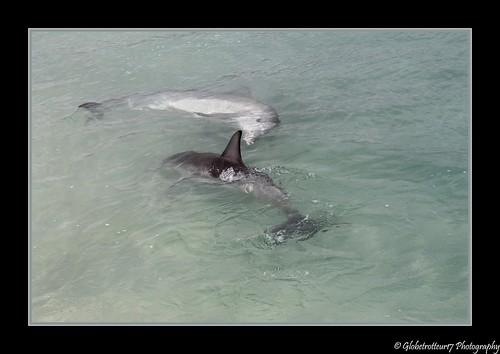 "Dauphins ""bottlenose""- Monkey Mia- Shark Bay- Western Australia- Australie"