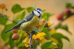 Blaumeise (Eurasian blue tit) (tzim76) Tags: blaumeise herbst sachsen bird birding canon wildlife nature outdoor meisen singvögel sperlingsvögel cyanistes caeruleus eurasian blue tit