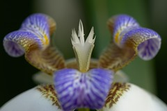 Corona (gabriel.bruno) Tags: flora flores flowers orchid orquideas naturaleza nature