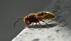 Hornisse Flügelschaden 007 (bratispixl) Tags: insekten hornissen bratispixl nikonflickraward nikon exifdaten favoriten bees nature naturefinest klicks300 dream