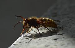 Hornisse Flügelschaden 009 (bratispixl) Tags: naturefinest nature bees favoriten exifdaten nikon nikonflickraward bratispixl hornissen insekten dream