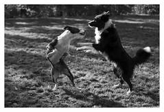 """Canem Fabulas III"" (TBWLC Photography) Tags: fdrouet tbwlc chien dog nb bw monochrome nikon d610 perro cane"
