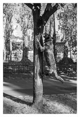 """Canem Fabulas II"" (TBWLC Photography) Tags: fdrouet tbwlc street chien dog perro cane nb bw monochrome nikon d610"