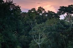 São Gabriel da Cachoeira-AM (Johnny Photofucker) Tags: sãogabrieldacachoeira am amazonas amazon amazônia brasil brazil brasile florestaamazônica rainforest floresta forest foresta selva giungla jungle lightroom natureza nature natura vegetação verde green entardecer tramonto embaúba planta pianta cabeçadocachorro 100400mm