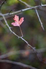 Give me three (Dumby) Tags: macro ilfov românia nature colors autumn fall canoneos40d m42 fujinon55mm closeup