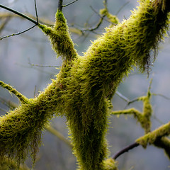 Tree Moss 009 (noahbw) Tags: columbiagorge columbiarivergorgenationalscenicarea d5000 dof nikon oregon pnw pacificnorthwest abstract blur branches depthoffield fog foggy forest mist misty moss natural noahbw spring square trees woods