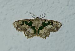 Trygodes viridiplena (creaturesnapper) Tags: panama insects moths lepidoptera geometridae trygodesviridiplena