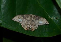 Syngria druidaria. (creaturesnapper) Tags: panama insects moths lepidoptera uraniidae epipleminae syngriadruidaria