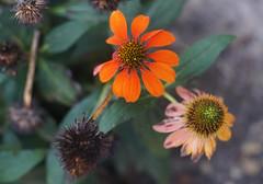 DSC02159 (Lens Lab) Tags: sony a7r olympus zuiko olympuschromesix 75mm 75cm f28 plants garden flowers echinacea coneflower