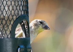 Oh, Hi! (nickinthegarden) Tags: americangoldfinch abbotsfordbccanada