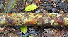 Bark (gailhampshire) Tags: papua new guinea
