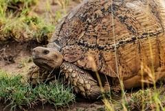Giant Leopard Turtle (Rod Waddington) Tags: africa african afrique afrika äthiopien animal giant leopard turtle wild wildlife awash national park outdoor nature