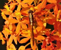 Fiery Skimmer female (Orthetrum villosovittatum) (gailhampshire) Tags: fiery skimmer female orthetrum villosovittatum taxonomy:binomial=orthetrumvillosovittatum papua new guinea