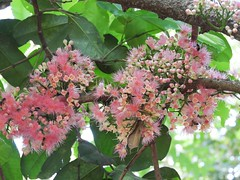 桃金孃科  Syzygium moorei  蒲桃屬 coolamon/rose apple (Sheila's collection) Tags: 桃金孃科 myrtaceae coolamon rose apple 蒲桃屬 australian native tree