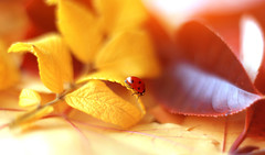 ...It is autumn (ElenAndreeva) Tags: closeup ladybug nature no people insect flower petal extreme close up macro magic garden autumn colorful dream soft focus tree light cold forest natural photograph bug insects liv andreeva 2019 amazing top yellow