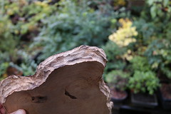 10137722 (jeremy_norbury) Tags: bonsai display stand slice wood carving