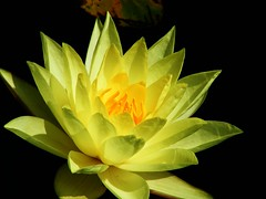 Yellow Beauty (Stanley Zimny (Thank You for 45 Million views)) Tags: yellow lily waterlily flower botanical garden skylands nj