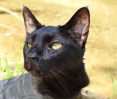 Kakashi (annette.allor) Tags: black cat adventure kakashi outdoors stream whiskers
