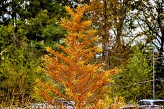 parking lot tree (Dotsy McCurly) Tags: autumn colors orange yellow parking lot tree park nj newjersey nikond850 nikon28300mmf3556