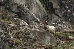 La capretta e il suo piccolo (giannipacciani) Tags: animali pentax capra agnello roccie natura