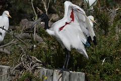 ibis sacré / Threskiornis aethiopicus 19E_2529 o (Bernard Fabbro) Tags: threskiornis aethiopicus ibis savré oiseau bird african sacred