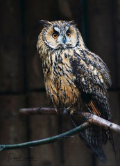 Waldohreule (babsbaron ( Bella )) Tags: nature naturfotografie tiere animals animalphotographie tierfotografie vogel vögel birds eulen owls waldohreule tierpark lüneburgerheide wildpark