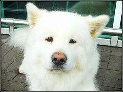 Whiter than White ... (** Janets Photos **) Tags: uk eastyorkshire hull white canine dogs