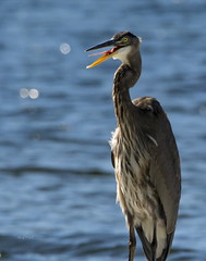 Excuse me, I have a frog in my throat . . . (Dr. Farnsworth) Tags: bird heron large food frog fish throat greatblueheron westlake mi michigan fall october2019