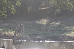 Giraffe Drinking (Rckr88) Tags: krugernationalpark southafrica kruger national park south africa giraffe drinking giraffedrinking water lake lakes dam dams river rivers riverbank nature animals animal naturalworld outdoors wilderness wildlife