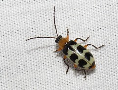Leaf beetle (Bug Eric) Tags: animals wildlife nature outdoors insects bugs beetles leafbeetles chrysomelidae coleoptera redrockcanyonopenspace coloradosprings colorado usa paranapiacabatricincta northamerica july192019