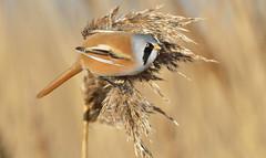 Bearded Tit  (Panurus biamicus). (Bob Eade) Tags: birds dungeness reedling reedbed beardedreedling beardedtit avian wildlife winter kent bird