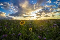 Fait moi tourner la tête (Dans ma nébuleuse) Tags: canon 100d nature tournesols phacelie champs landscape land feuille couleurs sky light lumière fleurs flower efs 1018mm 1018stm picardie