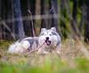 IMG_0872 (jeffreyshanor) Tags: dog doggo dogs pup puppies puppers woof wolf husky huskies pets furry fur hiking nature mountains wyoming lulu photography walk outside national friends