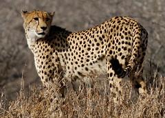 Early Morning Reconnaissance (DeniseKImages) Tags: wildlife africa cat cheetah cheetahs spot spots southafrica nature wild animal animals wildanimals wildanimal