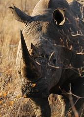In Profile (DeniseKImages) Tags: wildlife africa rhino rhinos rhinoceros whiterhino whiterhinoceros southafrica nature wild animal animals wildanimals wildanimal bigfive