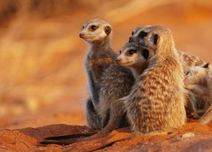 Meercat Family at Sunset (DeniseKImages) Tags: wildlife africa meercat meercats kalahari kalaharidesert sand red redsand desert southafrica nature wild animal animals wildanimals wildanimal