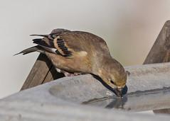 Backyard bird (nickinthegarden) Tags: americangoldfinch abbotsfordbccanada