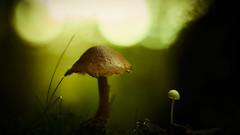 Small vs Big (micke.vmix) Tags: carlzeiss zeiss d850 makroplanar1002zf makroplanart2100 mushroom