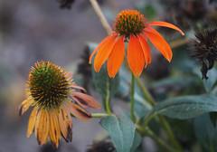 DSC02155 (Lens Lab) Tags: sony a7r olympus zuiko olympuschromesix 75mm 75cm f28 plants garden flowers echinacea coneflower