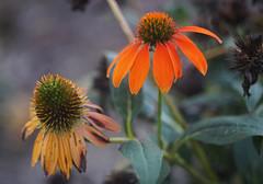 DSC02153 (Lens Lab) Tags: sony a7r olympus zuiko olympuschromesix 75mm 75cm f28 plants garden flowers echinacea coneflower