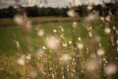 Dancing with the wind// Bailar con el viento (Mireia B. L.) Tags: pentacon50mm pentacon50mm18 pentacon vintagelens sonya7 bokeh flowers wind flores
