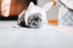 (Rebecca812) Tags: cute dog frenchie frenchbulldog rabbitears bunny costume disgruntled cozy furry soft gray adorable dogs pets animals canon nopeople home indoors day