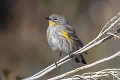 Yellow-Rumped Warbler (Audubon's) (Gf220warbler) Tags: idaho warbler setophaga parulidae passerine songbird