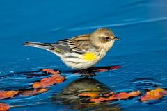Yellow-Rumped Warbler (Myrtle) (Gf220warbler) Tags: idaho warbler setophaga parulidae passerine songbird