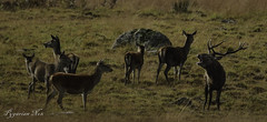 These are Mine (pygarian_nox) Tags: moorland stagg hinds rivals derbyshire big moor hareem