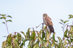 Sauvie Is.-6049.jpg (oregondew) Tags: sauvieis americankestrel kestrel falcosparverius femaleplumage
