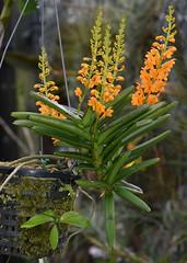 ?, Flecker Botanic Garden, Cairns, QLD, 11/10/19 (Russell Cumming) Tags: plant orchidaceae fleckerbotanicgarden cairnsbotanicgarden cairns queensland
