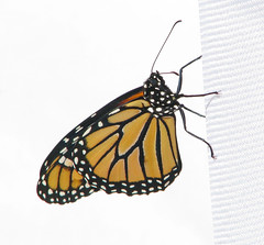 male about to fly - 1 of 3 Monarchs headed to Mexico yesterday! (Vicki's Nature) Tags: monarch butterfly orange black spots fresh abouttofly october 101719 fall vickisnature canon s5 3390 50s 70soutside 1of3 highkey male