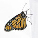 male about to fly - 1 of 3 Monarchs headed to Mexico yesterday!